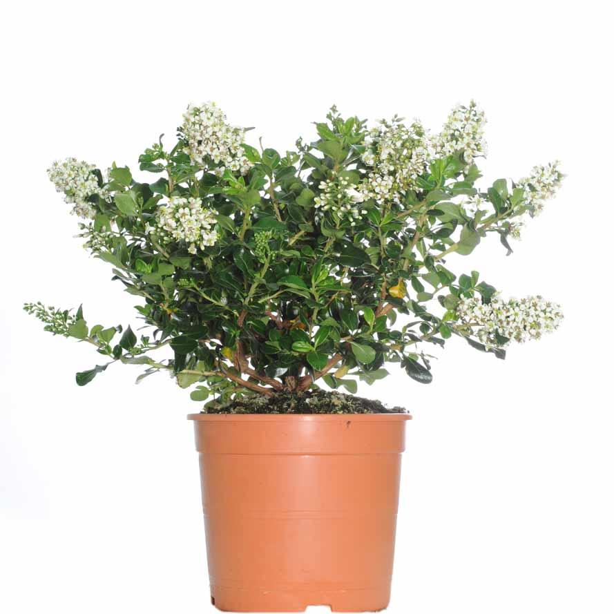ESCALLONIA DONAR WHITE