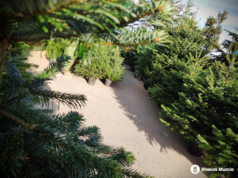 Abetos Naturales: El Árbol de Navidad respetuoso con el Medio Ambiente